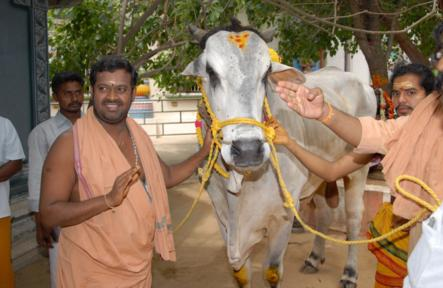 Gho Puja to Ongole Bull (Lord Nandhi)